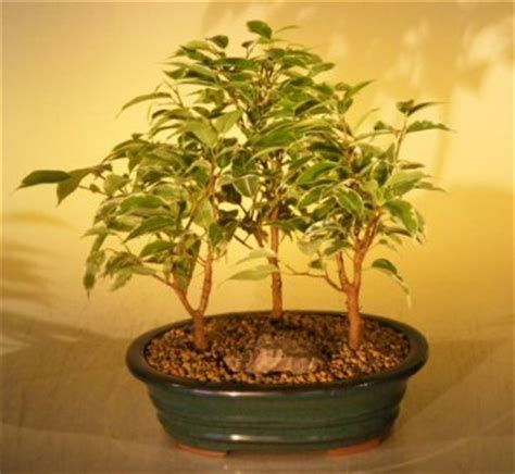 Ficus Bonsai Tree - Variegated3 Tree Forest Group(ficus