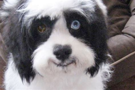 David Bowie's dog Max has mismatched eyes like his late master