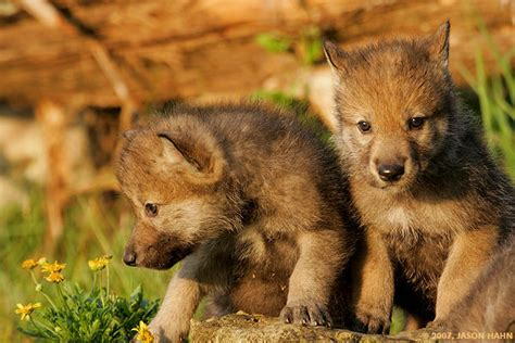 The Family That Howls Together Stays Together: Wolf Pups