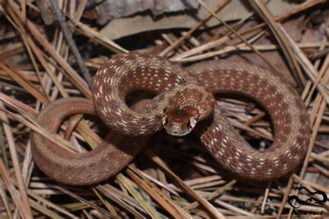 DeKay's Brownsnake (A Guide to Snakes of Southeast Texas