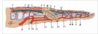 Extended Dorsal Metacarpal Artery Flaps - Tissue Surgery