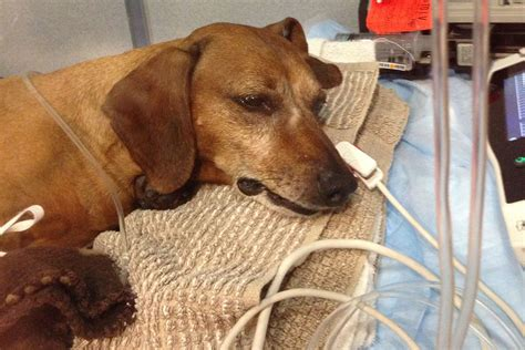 [Pet Poison Helpline] Top 12 Toxins For Dogs - Veterinary