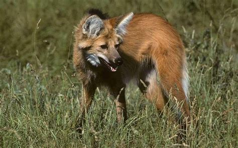 In Brazil, tracking the Big Five: maned wolf - Telegraph