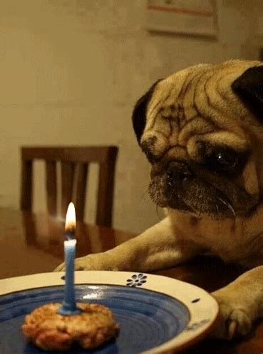 Happy Pug GIFs - Find & Share on GIPHY