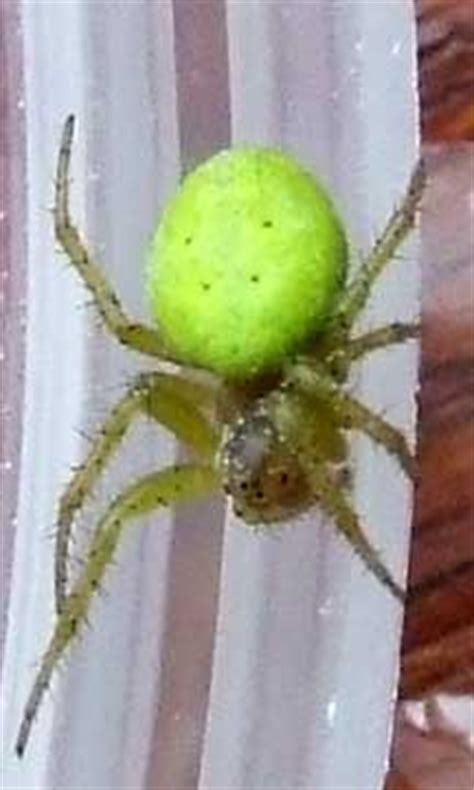 Cucumber Spider - What's That Bug?