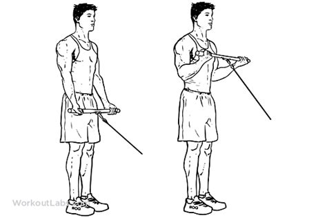Standing Bicep Cable Curls – WorkoutLabs Exercise Guide