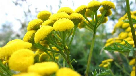 TANSY SEEDS, Bitter Buttons~(Chrysanthemum Vulgare