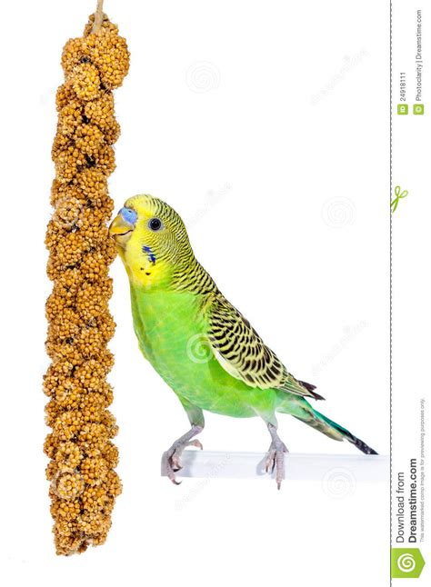 Snack Time For Budgie Stock Image - Image: 24918111