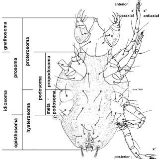 (PDF) A review of mites of the Parvorder Eleutherengona