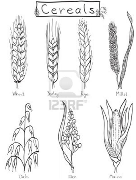 Stock Vector   Wheat drawing, Wheat tattoo, How to draw hands
