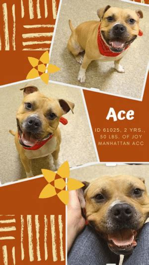 Ace ID 61025 2 YRS 50 LBS OF JOY MANHATTAN ACC TO BE