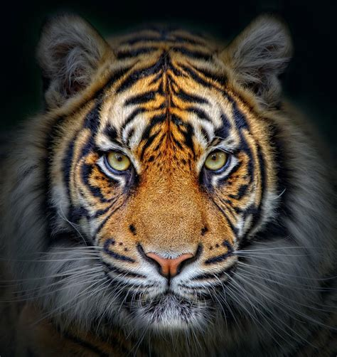 Tiger Background for Android - APK Download