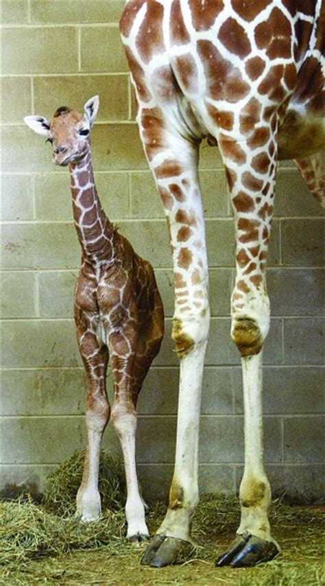 Giraffes: The World's Tallest…And One Of Its Cutest | Baby
